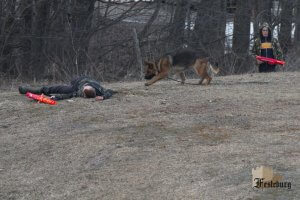 Read more about the article German Shepherds in Combat